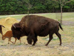 a momma buffalo and a baby buffalo